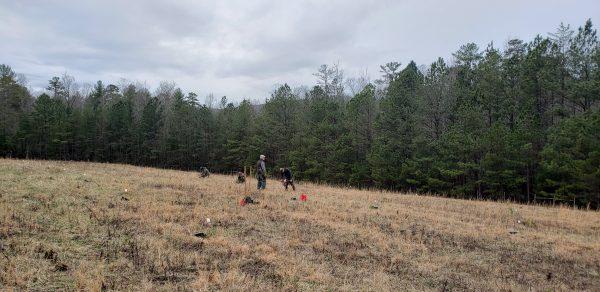 Eastern hemlcok planting at Chilhowee, TN