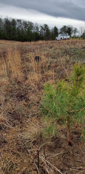 Freshly planted Table Mountain Pine at Chilhowee, TN